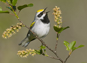 Golden-winged Warbler (Vermivora chrysoptera) calling, Michigan - Steve Gettle