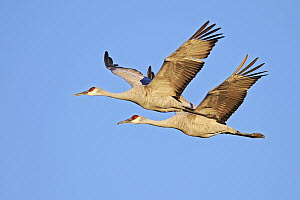Sandhill Crane (Grus canadensis) pair flying, Bosque del Apache National Wildlife Refuge, New Mexico  -  Winfried Wisniewski