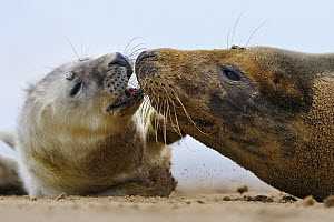 Grey Seal (Halichoerus grypus) with pup on beach, Donna Nook, Lincolnshire, United Kingdom  -  Jasper Doest