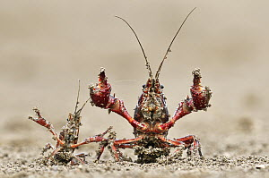Striped Crayfish (Orconectes limosus) pair in defensive posture, Donana National Park, Seville, Andalusia, Spain  -  Jasper Doest