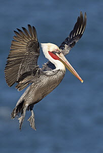Brown Pelican (Pelecanus occidentalis) landing, San Diego, California  -  Winfried Wisniewski