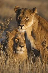 African Lion (Panthera leo) male and female, Khutse Game Reserve, Botswana  -  Vincent Grafhorst