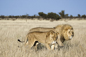 African Lion (Panthera leo) male and female courting, Khutse Game Reserve, Botswana - Vincent Grafhorst