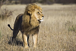African Lion (Panthera leo) male, Khutse Game Reserve, Botswana  -  Vincent Grafhorst