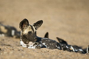 African Wild Dog (Lycaon pictus) pup, Northern Tuli Game Reserve, Botswana - Vincent Grafhorst