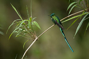 Long-tailed Sylph (Aglaiocercus kingi) male, Ecuador  -  Murray Cooper