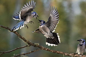 Blue Jay (Cyanocitta cristata) pair fighting while a third watches, Minnesota - Jim Brandenburg