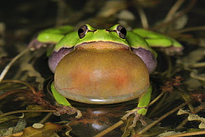 European Tree Frog (Hyla arborea) calling, Switzerland - Thomas Marent