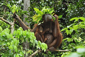 Orangutan (Pongo pygmaeus) female with young holding leaves over their heads to protect them from rain, Camp Leakey, Tanjung Puting National Park, Borneo, Indonesia  -  Thomas Marent