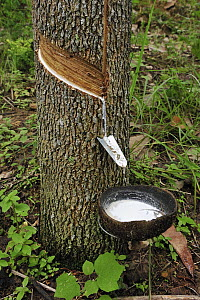 Rubber Tree (Hevea brasiliensis) tapped for sap used as latex, Gunung Leuser National Park, northern Sumatra, Indonesia  -  Thomas Marent