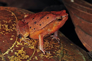 Black-spotted Narrow-mouthed Frog (Kalophrynus pleurostigma), Forest Research Institute Malaysia, Malaysia - Thomas Marent