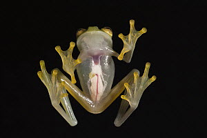 Northern Glassfrog (Hyalinobatrachium fleischmanni) underside showing internal organs, northwest Ecuador  -  Pete Oxford