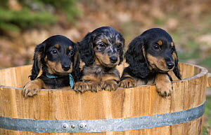 Miniature Long Haired Dachshund (Canis familiaris) puppies  -  Mark Raycroft