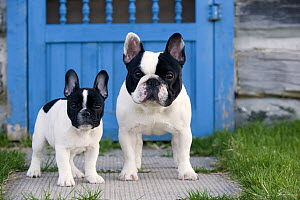 French Bulldog (Canis familiaris) adult and puppy  -  Mark Raycroft