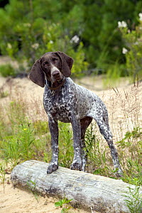 German Shorthaired Pointer (Canis familiaris) puppy - Mark Raycroft