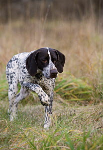 German Shorthaired Pointer (Canis familiaris) walking - Mark Raycroft