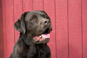 Chocolate Labrador Retriever (Canis familiaris)  -  Mark Raycroft