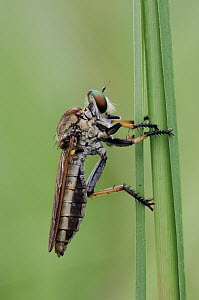 Robber Fly (Asilidae), Wasur National Park, Indonesia  -  Chien Lee