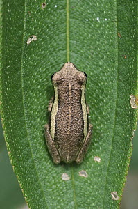 Old World Tree Frog (Rhacophoridae), Wasur National Park, Wasur National Park, Indonesia  -  Chien Lee