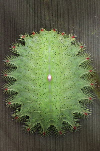 Cup Moth (Limacodidae) caterpillar with bristles capable of inflicting painful stings, Kuching, Borneo, Malaysia  -  Chien Lee