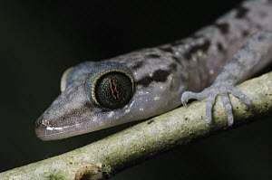Grooved Bent-toed Gecko (Cyrtodactylus pubisulcus) showing vertical pupil, Gunung Mulu National Park, Malaysia - Chien Lee