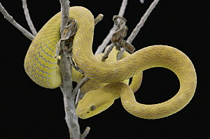 White-lipped Island Pit Viper (Trimeresurus albolabris insularis) coiled in tree, Jakarta, Indonesia - Chien Lee