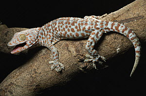 Tokay Gecko (Gecko gecko) in defensive posture, Jakarta, Indonesia - Chien Lee