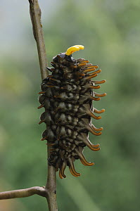 Golden Birdwing Butterfly (Troides amphrysus) caterpillar defends itself by means of foul-smelling tentacles hidden behind its head, Kipandi Butterfly Park, Crocker Range, Malaysia  -  Chien Lee