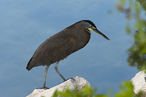 Bare-throated Tiger Heron (Tigrisoma mexicanum) on shore, Sian Ka'an Biosphere Reserve, Quintana Roo, Mexico  -  Pete Oxford