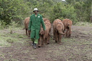African Elephant (Loxodonta africana) orphans rescued and cared for by the David Sheldrick Wildlife Trust, Nairobi, Kenya - Tui De Roy