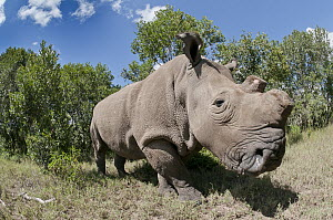 Northern White Rhinoceros (Ceratotherium simum cottoni), one of four of the last eight surviving individuals of this subspecies, transported from Dvur Kralove Zoo in the Czech Republic back to Africa... - Tui De Roy