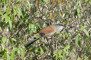 White-browed Coucal (Centropus superciliosus), Kenya - Tui De Roy