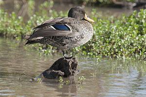 Yellow-billed Duck (Anas undulata) showing blue speculum feathers on wing, Lewa Wildlife Conservation Area, Kenya  -  Tui De Roy