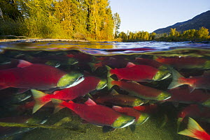 Sockeye Salmon (Oncorhynchus nerka) group swimming upstream between forested banks during spawning run, Adams River, Roderick Haig-Brown Provincial Park, British Columbia, Canada - Yva Momatiuk & John Eastcott