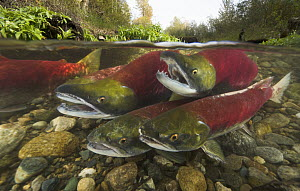 Sockeye Salmon (Oncorhynchus nerka) males competing for best position to fertilize eggs of females about to lay, Adams River, Roderick Haig-Brown Provincial Park, British Columbia, Canada  -  Yva Momatiuk & John Eastcott