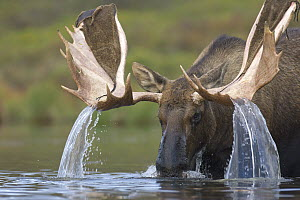 Alaska Moose (Alces alces gigas) sub-adult bull with antlers shedding velvet feeding in tundra pond, Denali National Park, Alaska - Yva Momatiuk & John Eastcott