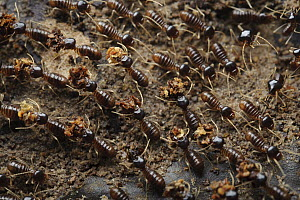 Termite (Longipeditermes longipes) workers transporting leaf fragments back to the colony, Kubah National Park, Sarawak, Borneo, Malaysia  -  Chien Lee