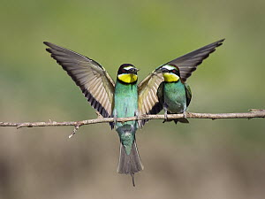 European Bee-eater (Merops apiaster) presents prey item to potential mate, Bulgaria - Konrad Wothe