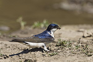 Common House Martin (Delichon urbicum) collecting clay for nest building, Europe  -  Konrad Wothe