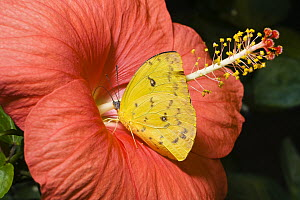Orange-barred Sulphur (Phoebis philea) feeding on flower nectar, native to South America - Konrad Wothe
