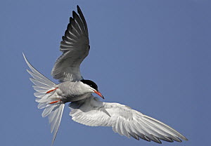 Common Tern (Sterna hirundo) flying, Stockers Lake, Hertfordshire, England  -  Mark Hughes
