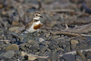 Double-banded Plover (Charadrius bicinctus), East Clive, Hawkes Bay, New Zealand  -  Mark Hughes