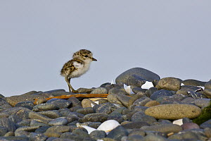 Double-banded Plover (Charadrius bicinctus) chick, East Clive, Hawkes Bay, New Zealand  -  Mark Hughes