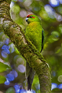 Red-fronted Parakeet (Cyanoramphus novaezelandiae), Karori, Wellington, New Zealand - Mark Hughes