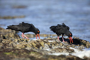 African Oystercatcher (Haematopus moquini) pair displaying, Western Cape, South Africa  -  Richard Du Toit