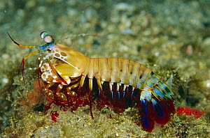 Mantis Shrimp (Odontodactylus scyllarus), Solomon Islands  -  Birgitte Wilms