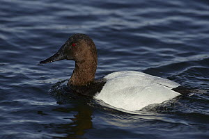 Canvasback (Aythya valisineria) duck drake paddling, Michigan  -  Steve Gettle