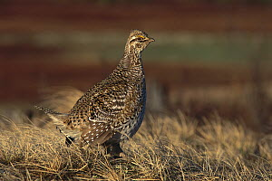 Sharp-tailed Grouse (Tympanuchus phasianellus) male, Seney National Wildlife Refuge, Michigan - Steve Gettle
