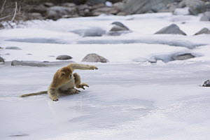 Golden Snub-nosed Monkey (Rhinopithecus roxellana) slipping on ice while crossing frozen stream, Qinling Mountains, China - Cyril Ruoso