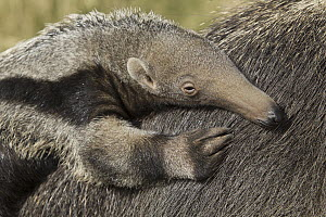 Giant Anteater (Myrmecophaga tridactyla) young on mother's back, native to South America  -  ZSSD